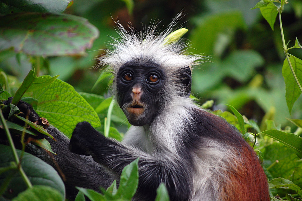 1024px-zanzibar_red_colobus_monkey